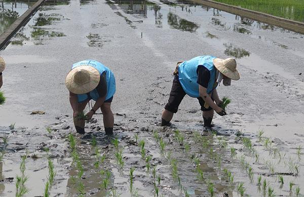 德淵友善環境,安心稻米合作